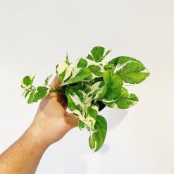 "Epipremnum pinnatum ""N-Joy"""